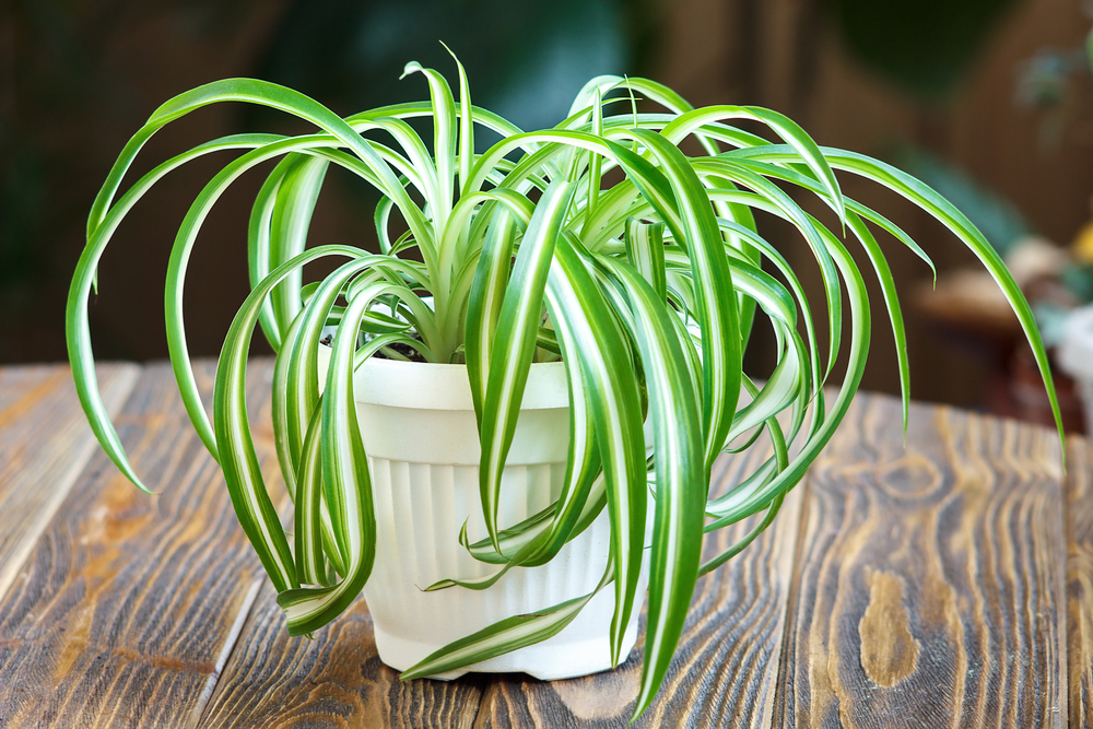 benefits of snake plant in home