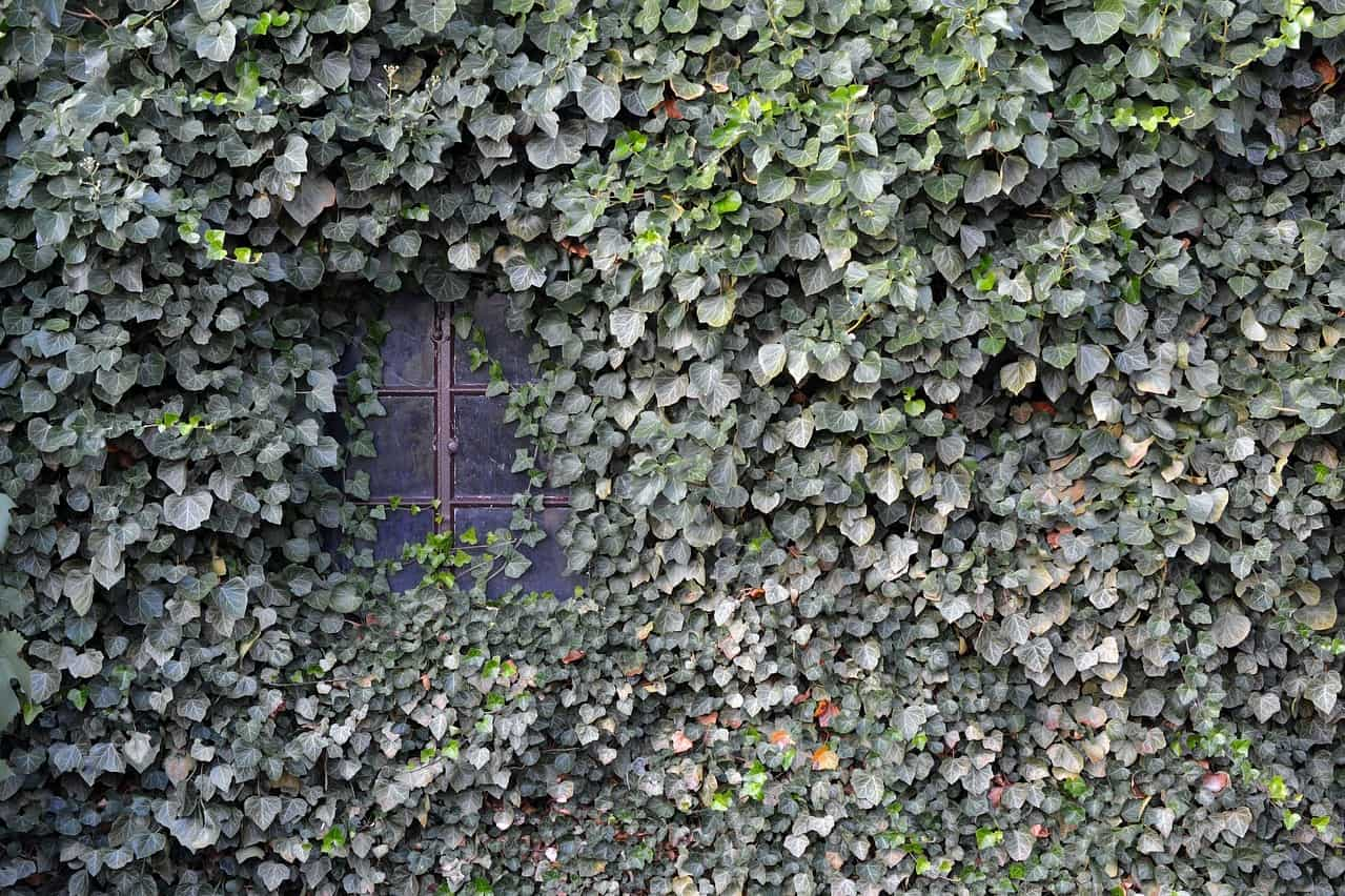 window of a house covered in ivy